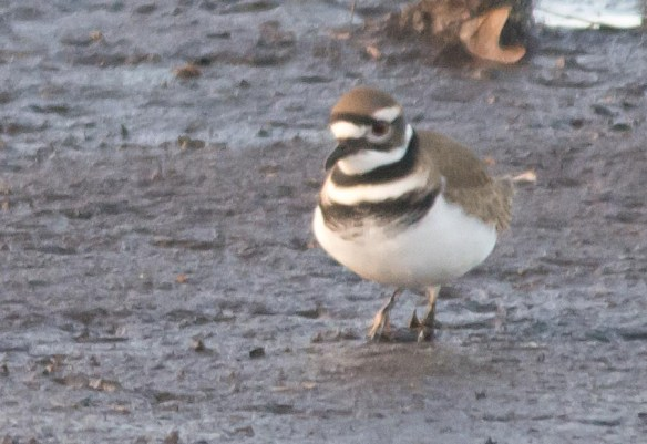 Killdeer 2016-10
