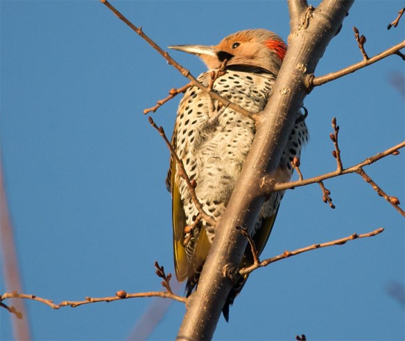 northern-flicker-2016-24