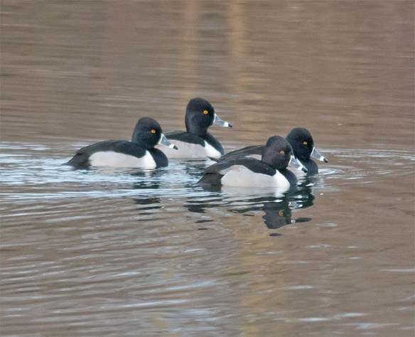 Ring Necked Duck 2016-33