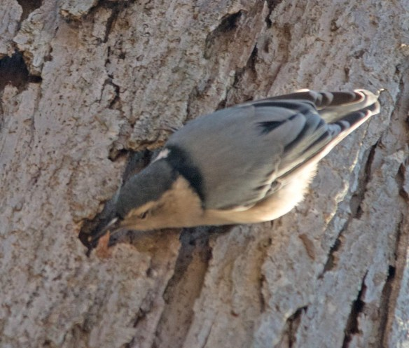 white-breasted-nuthatch-2016-3