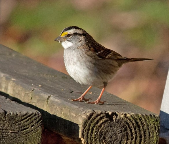 white-throated-sparrow-2016-25