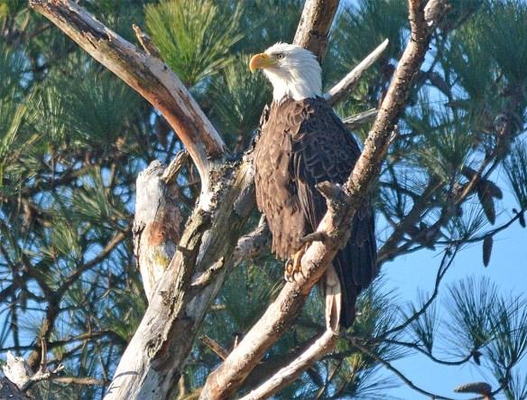Bald Eagle 2017-25