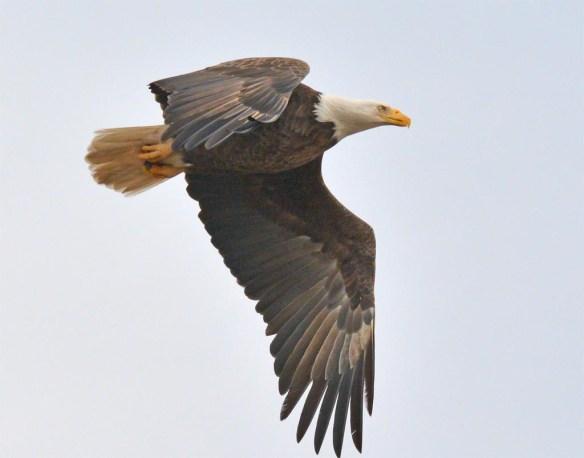 Bald Eagle 2017-36