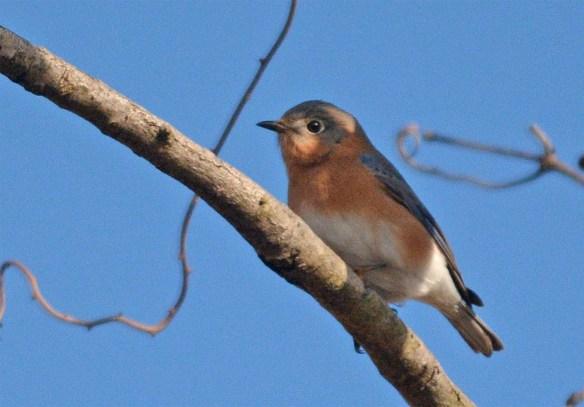 Eastern Bluebird 2017-3