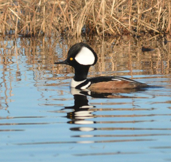 Hooded Merganser 2017-76
