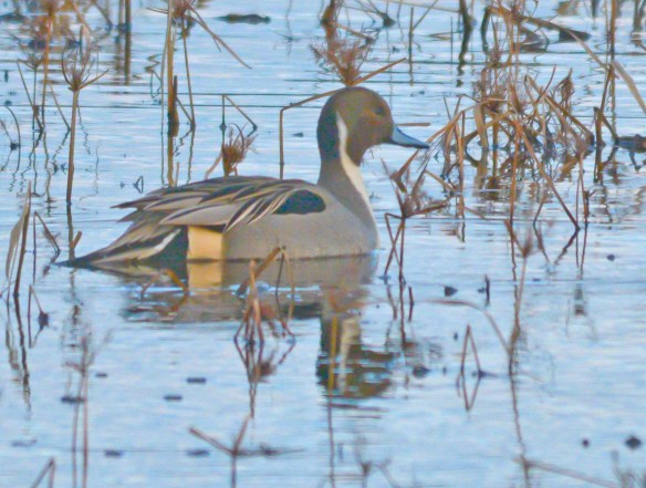 Northern Pintail 2017-4