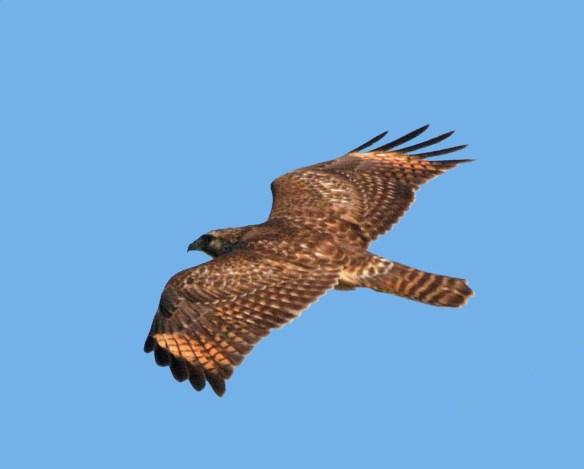Red Shouldered Hawk 2017-2
