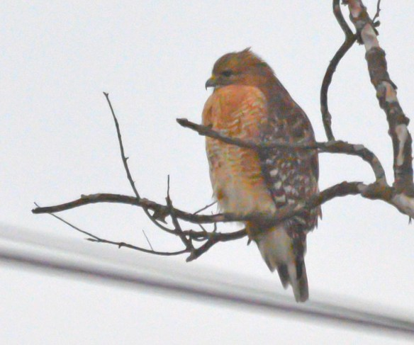 Red Shouldered Hawk 2017-3