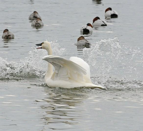 Tundra Swan 2017-13