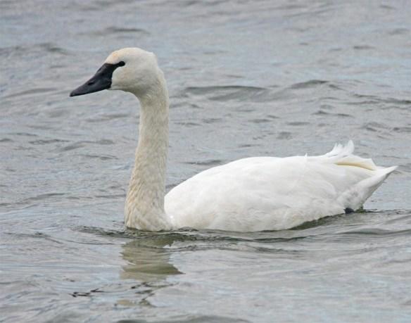 Tundra Swan 2017-22