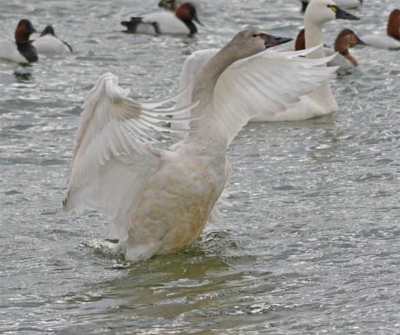 Tundra Swan 2017-26