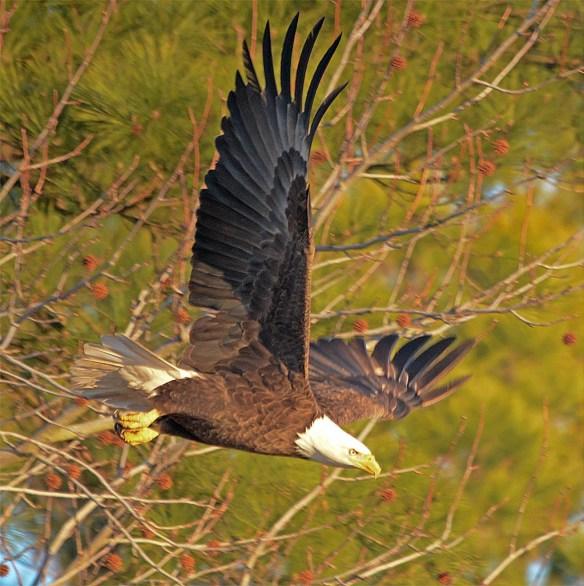 Bald Eagle 2017-51
