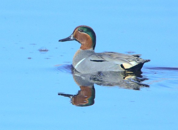 Green Winged Teal 2017-3