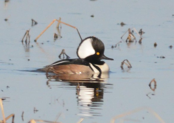 Hooded Merganser 2017-780