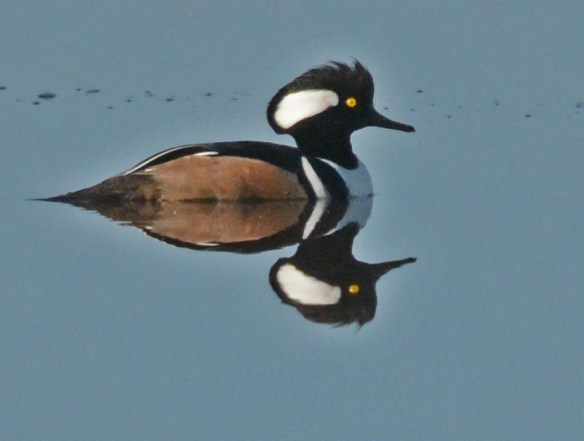 Hooded Merganser 2017-781