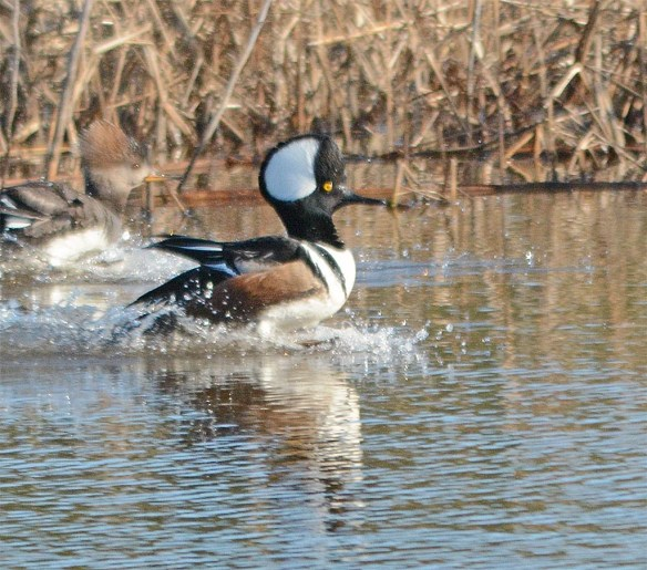 Hooded Merganser 2017-787