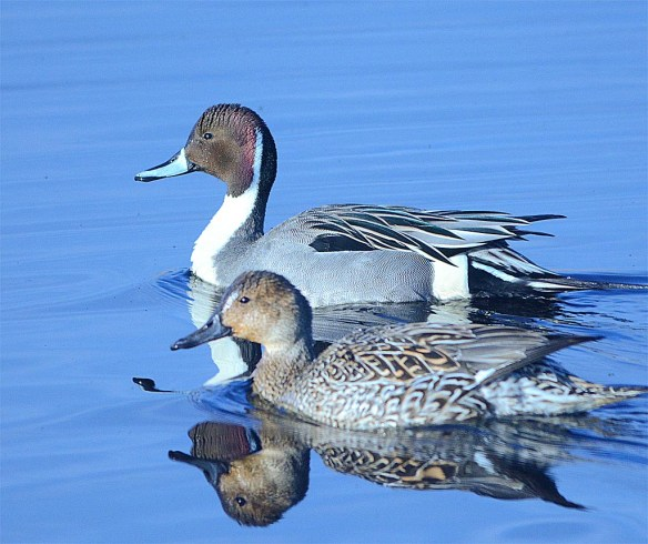 Northern Pintail 2017-15