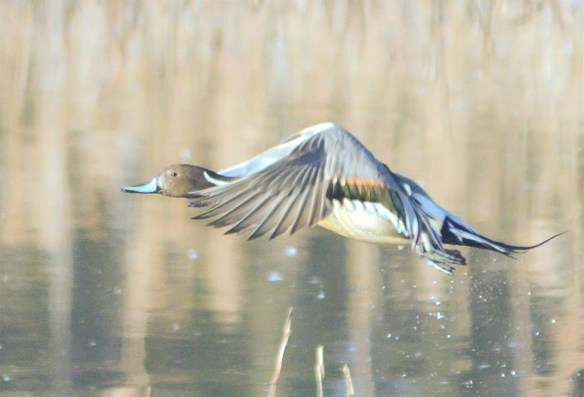 Northern Pintail 2017-16