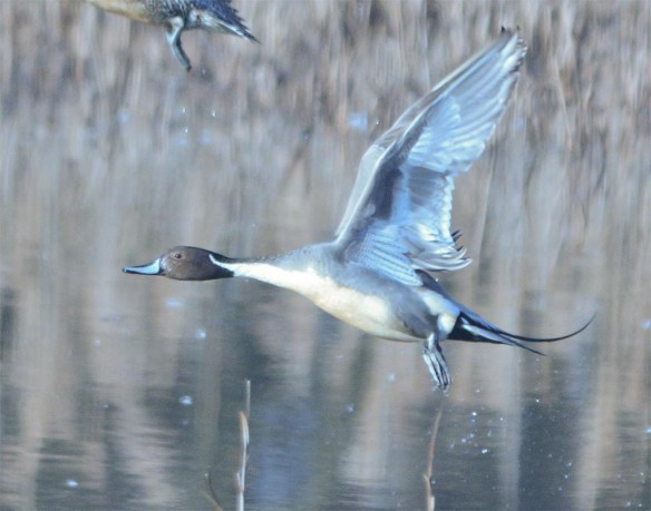 Northern Pintail 2017-17