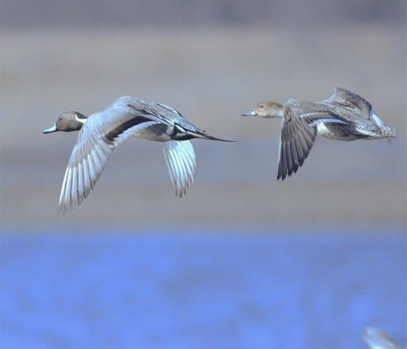 Northern Pintail 2017-19