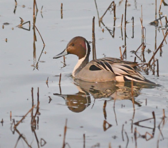 Northern Pintail 2017-7