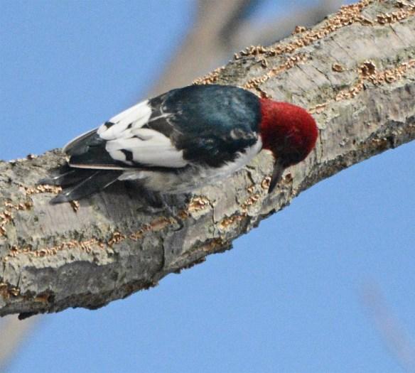 Red Headed Woodpecker 2017-13