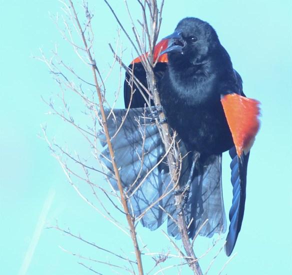 Red Winged Blackbird 2017-3