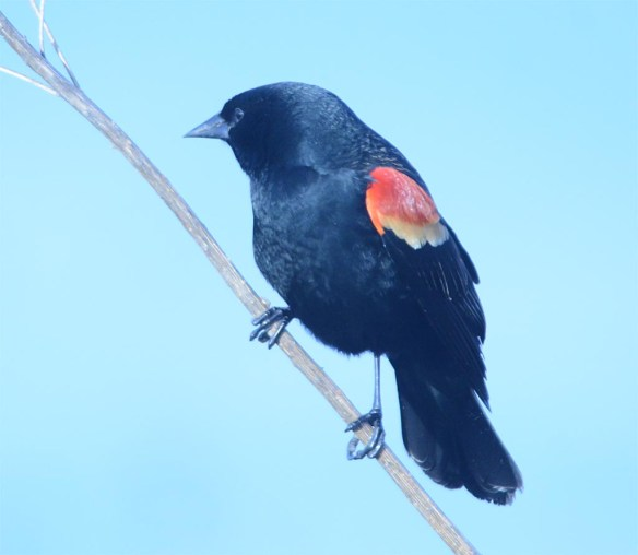 Red Winged Blackbird 2017-4
