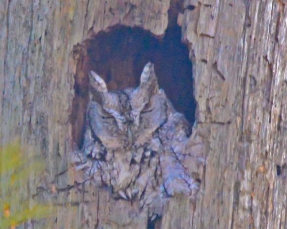 Screech Owl 2017-1