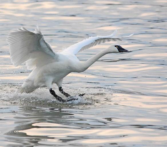 Tundra Swan 2017-41