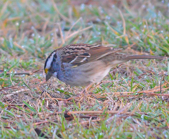 White Throated Sparrow 2017-2