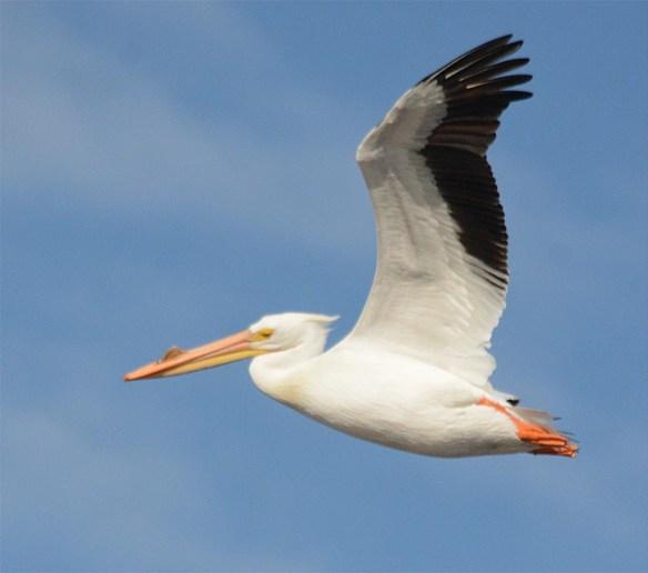 American White Pelican 2017-4