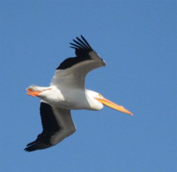 American White Pelican 2017-8