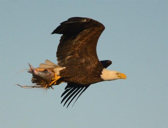 Bald Eagle 2017-60