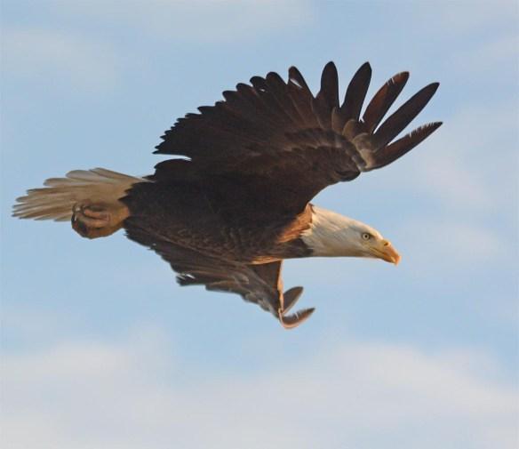 Bald Eagle 2017-67