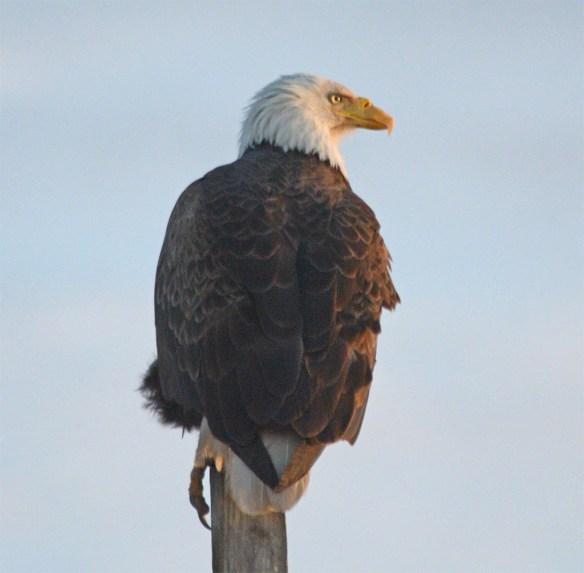 Bald Eagle 2017-72