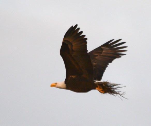 Bald Eagle 2017-85