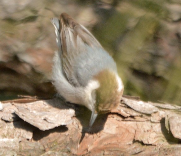 Brown Headed Nuthatch 2017-8