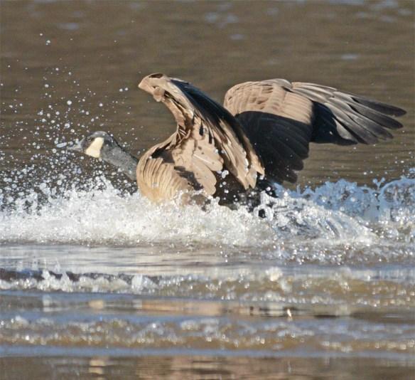 Canada Goose 2017-4