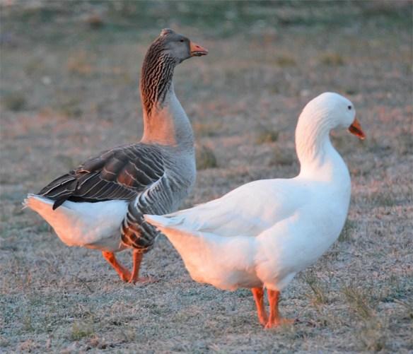 Domestic Goose 2017-1