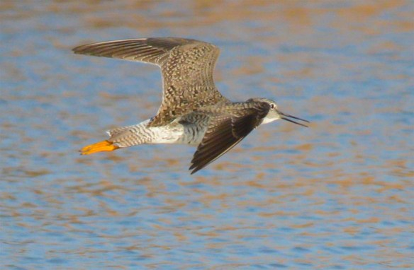 Greater Yellowlegs 2017-6