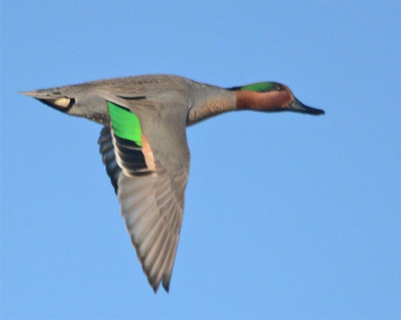 Green Winged Teal 2017-13