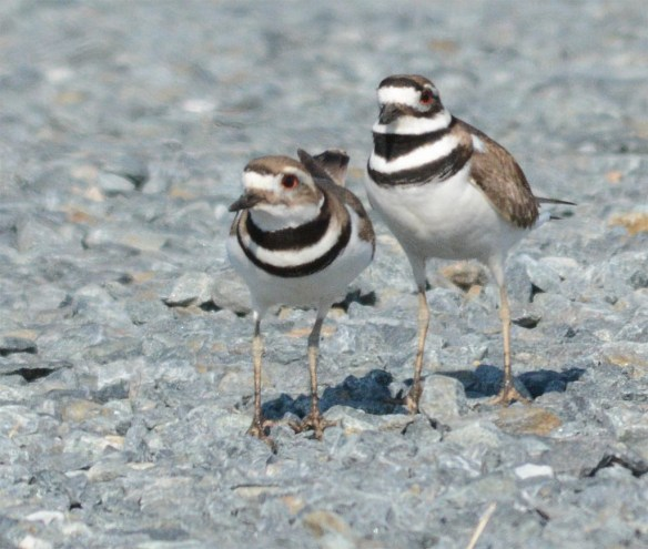 Killdeer 2017-2