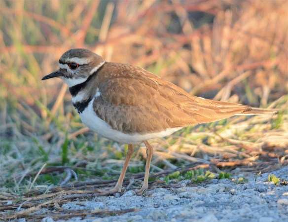 Killdeer 2017-5