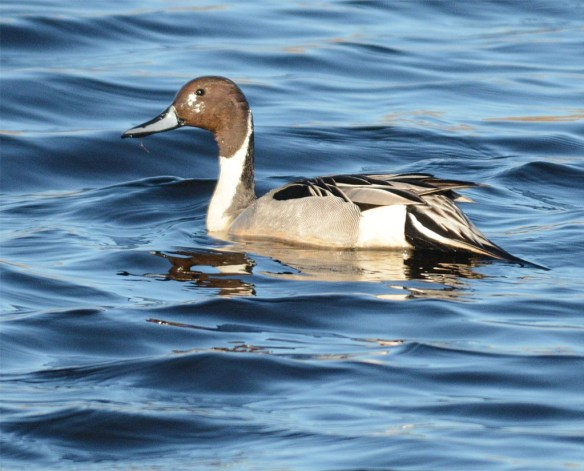 Northern Pintail 2017-31