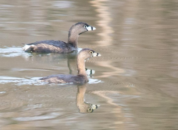 Pied Billed Grebe 2017-3