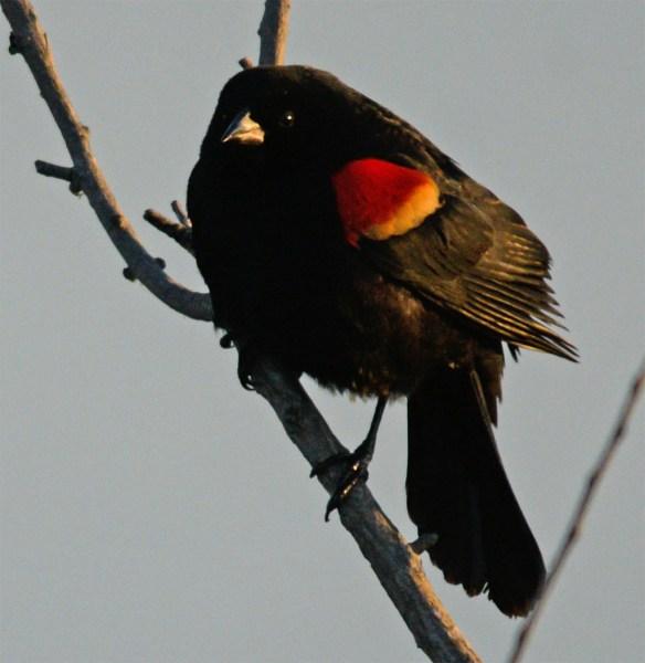 Red Winged Blackbird 2017-7