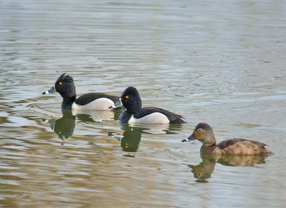 Ring Necked Duck 2017-10