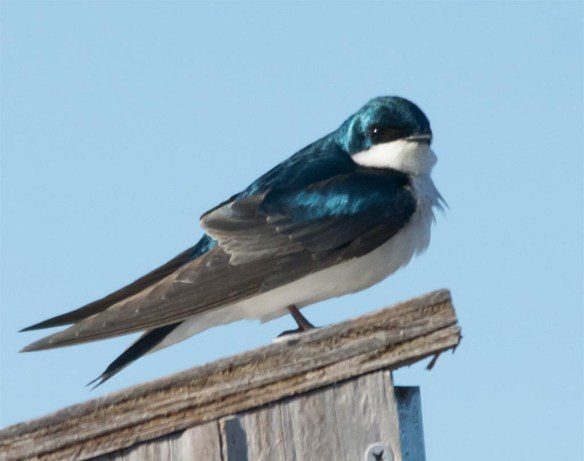 Tree Swallow 2017-4