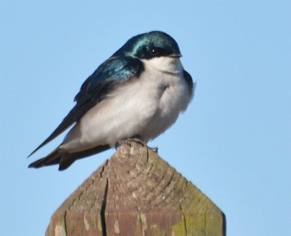 Tree Swallow 2017-5